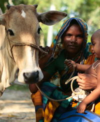 A woman carries her child while tending to the cow she received as part of Chars Livelihoods Programme. © Mahmud/Map/CLP